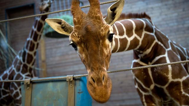 Copenhagen Zoo's giraffe Marius