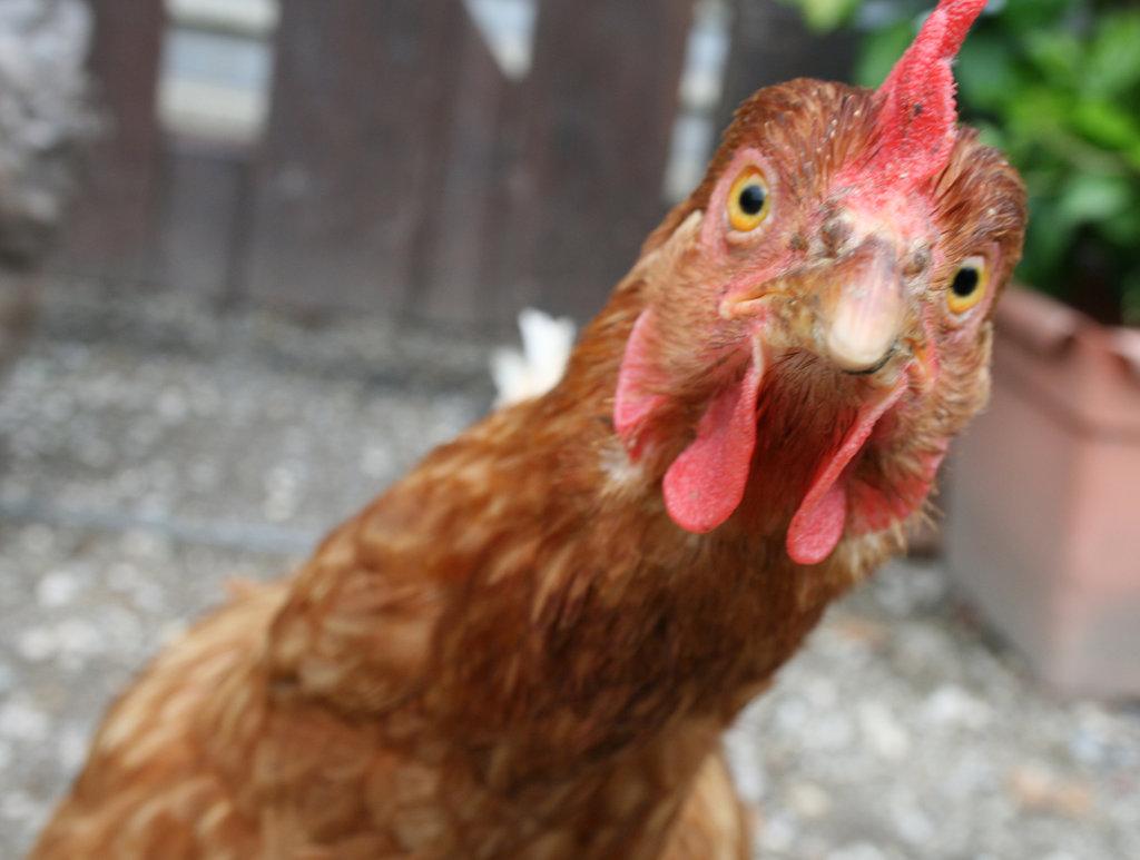 chicken-011